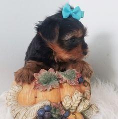 Ronnie Yorkshire Terrier Puppy 657160 | PuppySpot Free Puppies For Adoption, Puppies For Sale, Little Puppies, Little Dogs, Yorkshire Terrier Breeders, Puppy Finder, New Puppy, Yorkie, Retriever Puppy