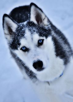 Siberian Husky. Oh so beautiful!!! ...........click here to find out more http://1.googydog.com