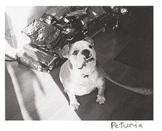 Black and White Polaroids of Polka Dog Bakery's first customers in Boston. Meet Petunia.