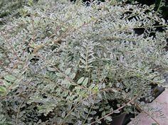 Lonicera nitida Silver Beauty - Bush Honeysuckle Beauty Bush, Evergreen Shrubs, Plant Nursery, Proposal, Garden, Scotland, Silver, Image, Plants