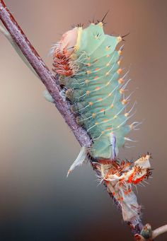 An Antheraea Polyphemus (Polyphemys Silk Moth):  photographed by Igor Siwanowicz