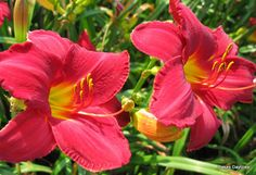 CHICAGO RUBY day lily