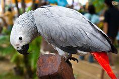 African Grey Parrots – Wonderful Talking Birds | Pets4Homes