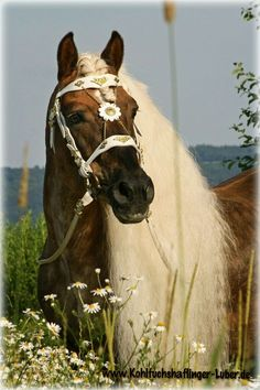 Handsome Haflinger -