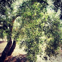 Olivo joven con aceituna madura. Young olive tree with ripe olives.