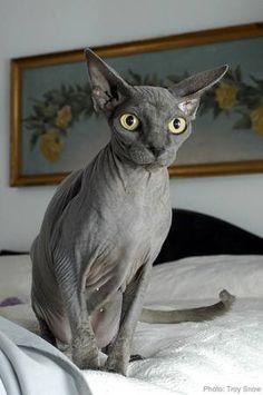Always wanted a Sphynx kitty!