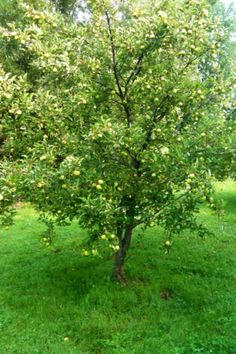 My actual orchard: Apple, Cherry, Peach and Pear trees...Planted almost 10 years ago from Amazing Fruit trees that I bought from www.starkbros.com!