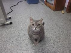 Gracie is an adoptable Tortoiseshell Cat in Hopewell, VA. Very pleasant, loves people, lap cat....