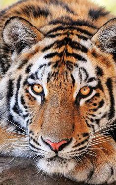 Tigre Fond D'écran Animé– Capture d'écran