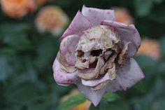 HOLY CRAP! This rose must be growing in the Haunted Mansion garden. Eeesh!