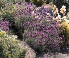 Lavender Anouk Deep Rose | Lavender | Spanish Lavender | Chunky Lavender | Ruffled Lavender ...
