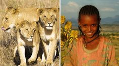Lions Save And Protect Girl Who Was Being Beaten By 7 Men