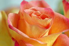 A Rose a day by Moni (Monika) Sigrist, via