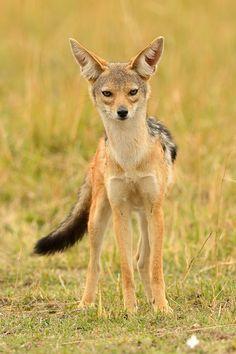 Black-backed jackal by Elmar Weiss on 500px