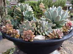 MIXED PLANTING OF GRAPTOVERIA,PACHYPHYTUM AND SEDUM