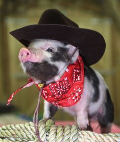Micro pig. Dressed as a cowboy.  More fun things @   https://www.facebook.com/groups/HealthyWeightTips