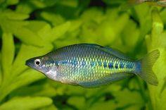Spotted Rainbowfish  (Glossolepis maculosus)