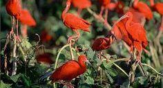 Scarlet Ibis Eudocimus ruber - Google Search