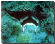 Absolutely Wow! Grace your wall with this cute cat wall poster. This poster captures the image of underwater sea life and an manta ray swims into the ocean is sure to make this poster eye catchy and grab lot of attention. It will calm you every time you look at it. It will be a great addition for your home decor and brings you many compliments from your guests. It also ensures high quality product with perfect color accuracy.
