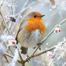Image result for pictures of robins