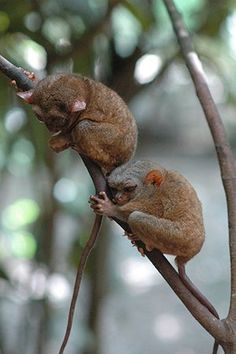 Primates of the World: Bohol tarsier