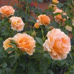 Polka climbing rose