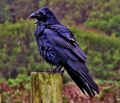 Raven in the rain by Edward Kent