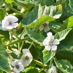 La guimauve, délice des enfants. Mauve blanche, la guimauve officinale ou est une plante vivace herbacée originaire d'Europe pouvant atteindre jusqu'à 1,5 m de hauteur. Ses fleurs sont d'un magnifique blanc-rose pâle. Cette plante comestible est reconnue pour ses vertus médicinales émollientes, laxatives et s'avère très efficace contre la toux en dégageant le mucus et en calmant les irritations. En effet, on extrait de ses racines le mucilage qui est utilisé dans la confection de…