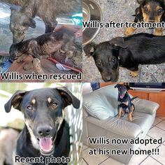 Our charming dog Willis has found a home! He was found in an awful state along with his family who were also in a terrible condition. He was nursed back to health and made a great recovery. He was always a lively and very friendly character and its wonderful to see him get adopted into a loving home. This poster shows his journey with us.