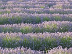 "French Lavender Plant- Called ""everblooming"" because it blooms from spring till frost, an ornamental variety of Lavender, it is not as pungently scented as others, but is commonly used in fresh and dried flower arrangements."