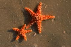 Starfish on beach Naples FL. Naples Illustrated  #NaplesIllustrated