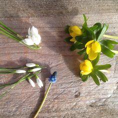 Det er februar måned, og selvom det stadig er vinter og ofte minusgrader, er forårsenergien med plantespirer og flere lyse dagtimer startet. Og årets første blomster er dukket i haverne og i krukker på altanerne rundt om i landet. I 2016 vil jeg forsøge at lave en lille billedserie med blomster, som har blomstret i …