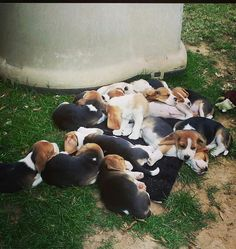 Beagle Puppies... That is how our Beagle family started. Beagle puppies in the paper....