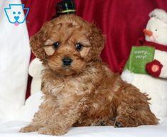 Hazel | Cockapoo Puppy For Sale | Keystone Puppies