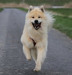 """Click visit site and Check out Cool """"German Spitz"""" T-shirts. This website is excellent. Tip: You can search """"your name"""" or """"your favorite shirts"""" at search bar on the top."""