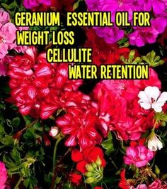 Please Share #Geranium oil is one of the most effective essential oils for skin concerns as well as health issues. Once again, nature has delivered a far superior alternative to high dollar anti aging skin care products! A natural diuretic, Geranium essential oil stimulates the lymphatic system and aids elimination of excess water from the body. It is helpful in minimizing #cellulite and edema. www.wendy4.vibrantscents.com