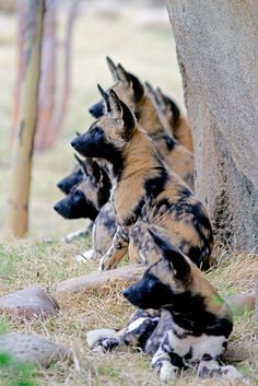 Painted Dog Pups-Painted Dog Pups The African Painted Dog has many common names, including: Cape Hunting Dog, African Wild Dog and Tri-Coloured Dog. Nature Animals, Animals And Pets, Cute Animals, Beautiful Dogs, Animals Beautiful, Canis Lupus, Zee Dog, Love My Dog, African Wild Dog