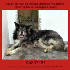 Gardena CA: Examiner article re: Senior Spitz (ALASKAN MALAMUTE/GSD) was impounded at CARSON June 1st!