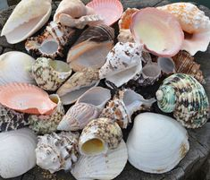 Shells special offers - buy seashells from the UK, beach shells, starfish, scallop shells, shell bags and sea shell gifts to buy online from from Dorset Gifts. Also you can buy shell gifts, collectible shells, display shells, window display shells, seashell star fish, barnacles, seaside wedding theme, wedding seashells, beach shell garlands and scallop shells. Ideal for Beach decor sea shell themed rooms or a wedding shell theme. Also as seaside or maritime themed shop window dressing…