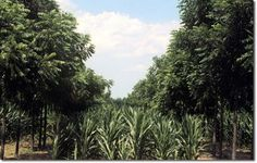 Black Walnut and corn alley cropping experiment by the Center for Agroforestry - Make Use of the USDA's Unofficial Support of Permaculture Soil Conservation, Permaculture Design, Aquaponics System, Grow Your Own Food, Betta Fish, Livestock, Agriculture, Outdoor Spaces, Homesteading