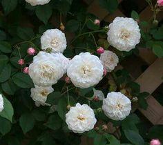 """""""本日の薔薇""""  ^^ フェリシテ エ ペルペチュ [ Félicité et Perpétue ] フランス Antoine A. Jacques作 1827年   白に近いアイボリーピンクの中輪ポンポン咲き。蕾は丸くピンク色。  花はびっしりと付く。枝は細枝で思わぬ長さまで伸長する。枝も多く出る。     花径:3cm 樹高:5.0m 花季:一季咲 その他:微香⇒香りのよいバラです 系統:ランブラー  ❁~❁~❁ 12月~2月は バラの""""秋大苗""""の定植適期です ❁~❁~❁   オールドローズから人気のモダンローズ、F&Gローズまで「日本のバラのパイオニア京阪園芸」の特選秋大苗が、こちらサイトでお買い求め頂けます!  ⇒ http://www.keihan-engei-gardeners.com/fs/keihangn/c/akinae"""