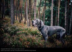 deutsche dogge, brown dog in fores, german dane