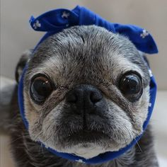 """Receive excellent suggestions on """"pug puppies"""". They are on call for you on our internet site. Baby Pug Dog, Dog Cat, Pug Love, I Love Dogs, Old Pug, Pug Puppies, Terrier Puppies, Boston Terrier, Cute Pugs"""