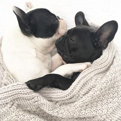 Nothing better than warm Frenchie cuddles on a rainy day ☔️, French Bulldog Puppies Snuggling.