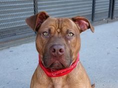 TO BE DESTROYED - 9/22/14 Brooklyn Center -P  My name is REXY. My Animal ID # is A1014052. I am a male brown am pit bull ter mix. The shelter thinks I am about 3 YEARS old.  I came in the shelter as a STRAY on 09/14/2014 from NY 11203, owner surrender reason stated was STRAY.