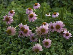 Purple Cone Flowers on the University of Nebraska-Lincoln Campus by Joel Sartore