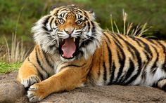 """""""When a man wants to murder a tiger, he calls it sport; when the tiger wants to murder him, he calls it ferocity. The distinction between crime and justice is no greater. Angry Tiger, Pet Tiger, Bengal Tiger, Snow Tiger, Tiger Face, Tiger Cubs, Tiger Images, Tiger Pictures, Animal Pictures"""