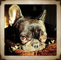 Theo the frenchie