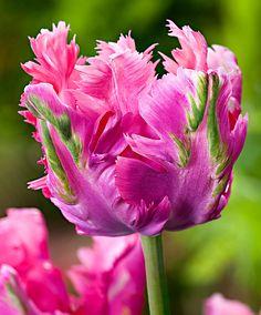 Spettacolare #tulipano Fantasy - #fiori