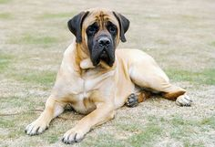 The four breeds most commonly called Mastiffs are the English Mastiff, the Neapolitan Mastiff, the Bull Mastiff and the Tibetan Mastiff. American Mastiff, British Mastiff, Old English Mastiffs, English Mastiff Puppies, Love Dogs, Big Dogs, Dogs And Puppies, Doggies, Pointer Puppies